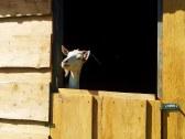Zvedavá koza