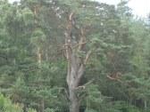 300 ročná borovica
