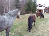 Kôň, poník a zrieba